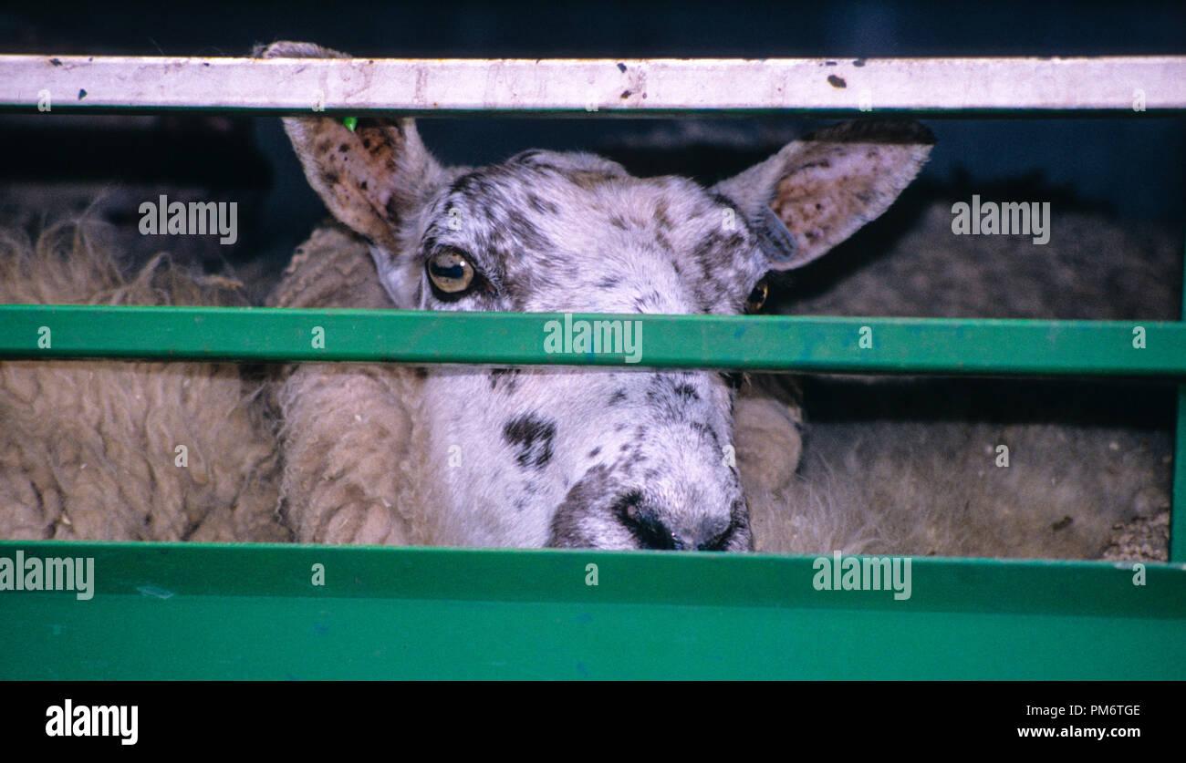 Die Ausfuhr lebender Tiere aus dem Vereinigten Königreich nach, BREXIT, Dover, England, UK, GB verboten werden. Stockfoto