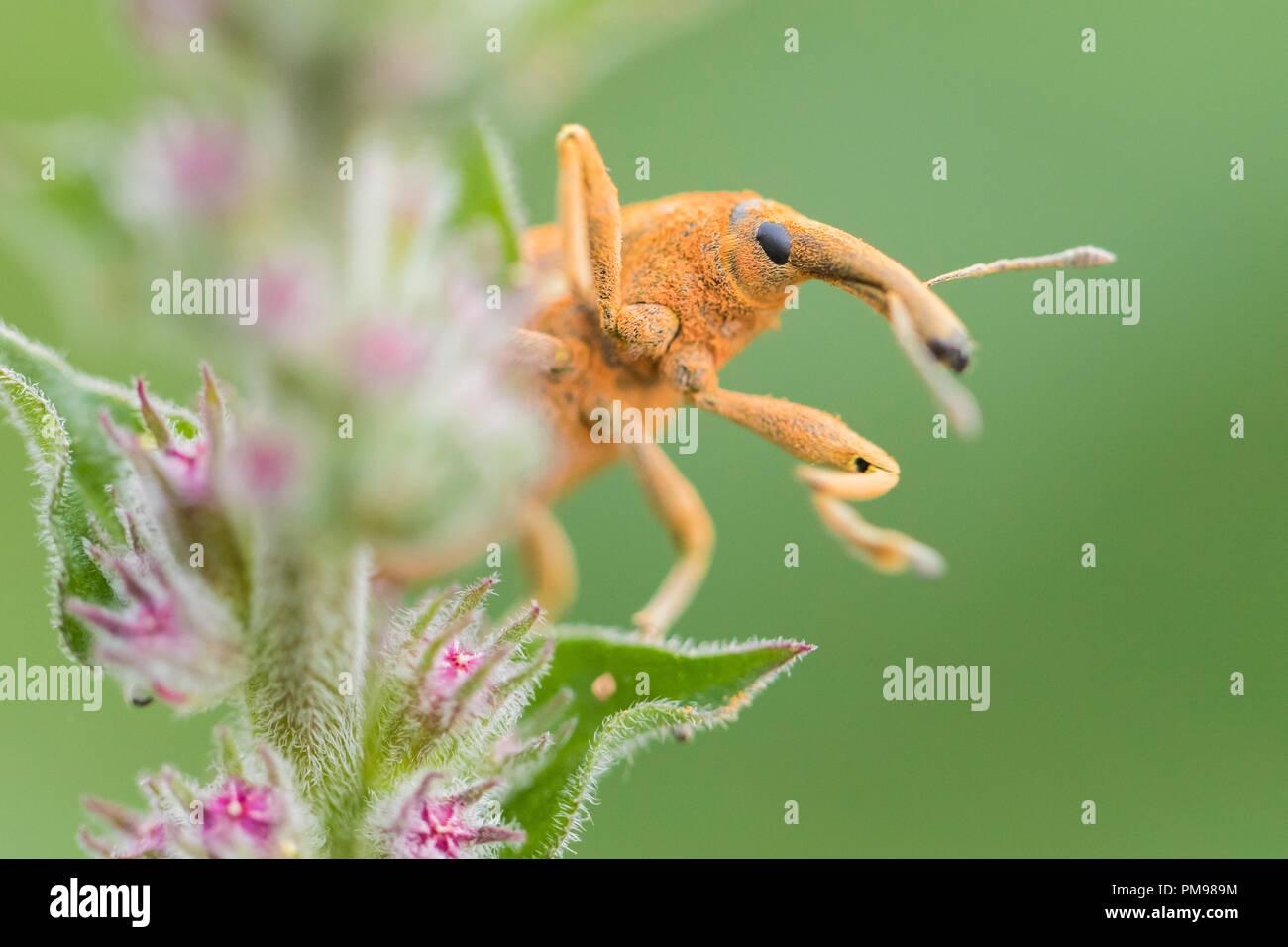 Lixus pulverulentus, close-up der Erwachsenen auf einer Anlage Stockbild