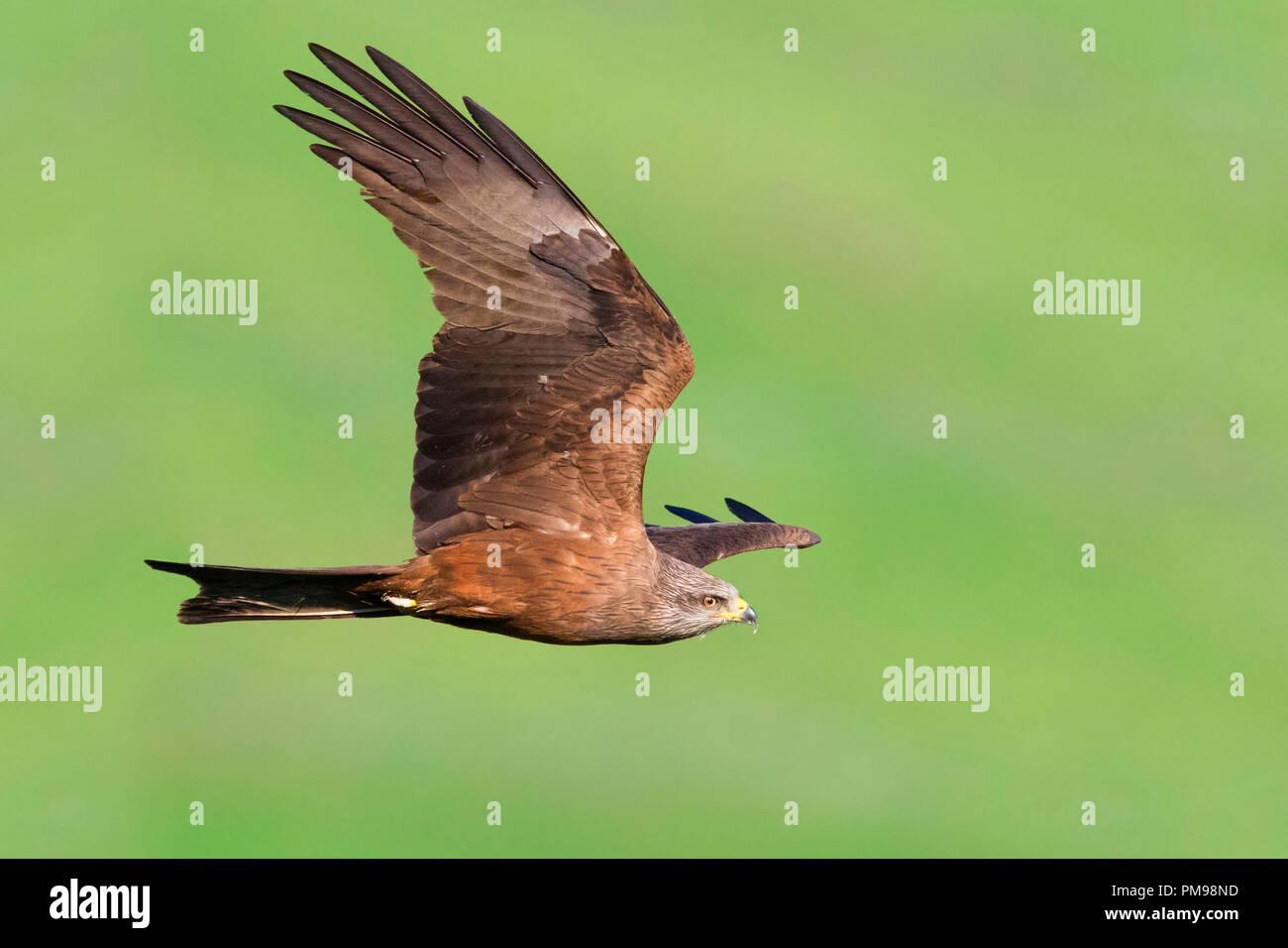 Schwarzmilan (Milvus Migrans), Erwachsene im Flug Stockbild