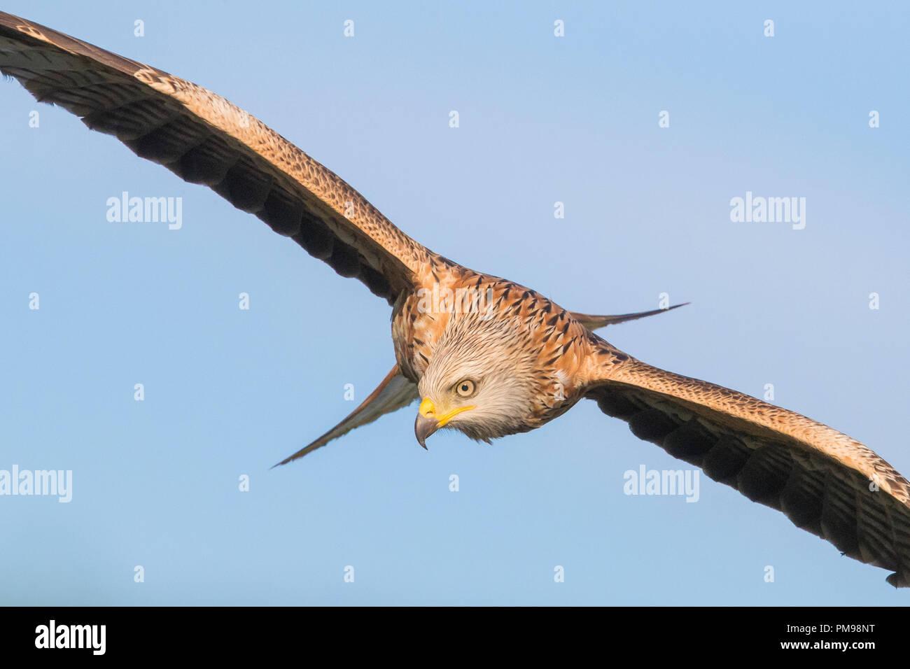 Rotmilan (Milvus Milvus), unreif im Flug Stockbild