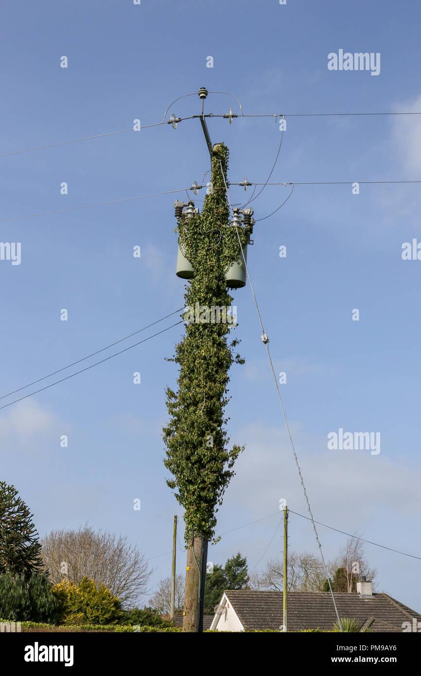Ein utility Pole mit einem britischen Verteilungstransformator in Efeu bedeckt. Stockbild