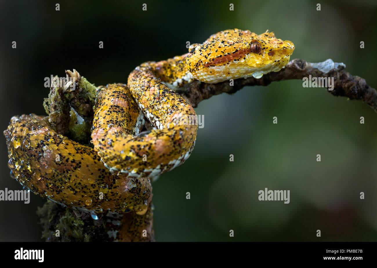 Ein nasser Wimpern pìtviper nach dem Regen. Foto in Costa Rica. Stockbild