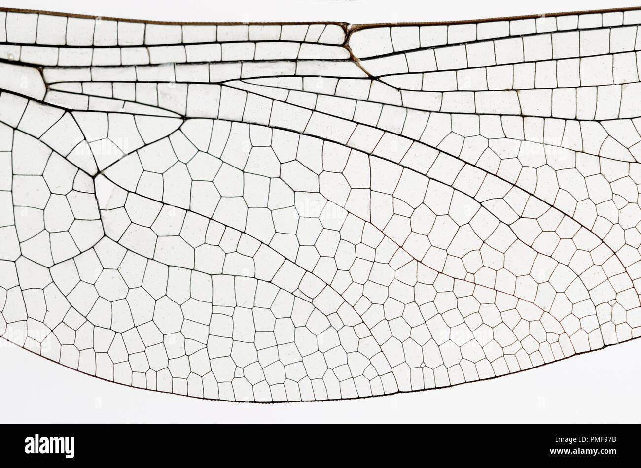 Flügel des Gemeinsamen Darter Dragonfly (Sympetrum striolatum) von einem toten Muster. Übersicht Venen und transparente Zellen Stockbild