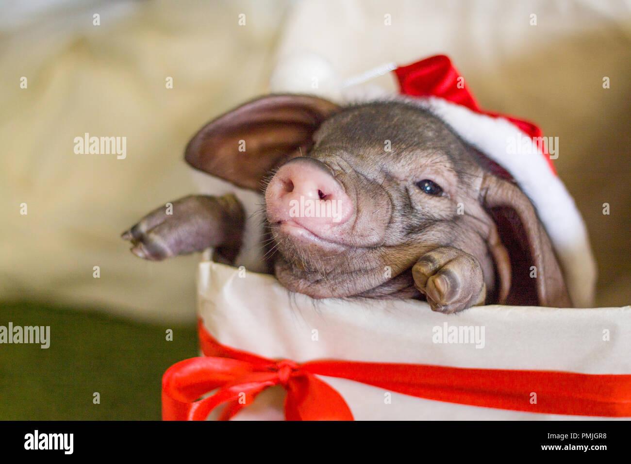 Weihnachten und Neujahr Karte mit niedlichen Neugeborenen santa Schwein in Geschenk Box vorhanden. Dekorationen Symbol des Jahres chinesischen Kalender. Tanne für den Hintergrund. Holid Stockbild
