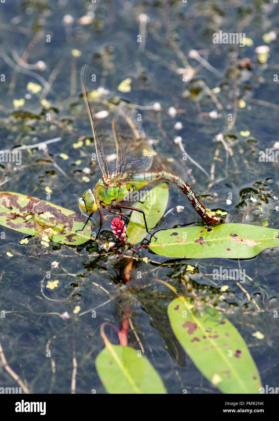 Kaiser Dragonfl; y: Anax imperator. Weibchen mit der Eiablage auf Unterwasservegetation. Surrey, Großbritannien. Stockbild