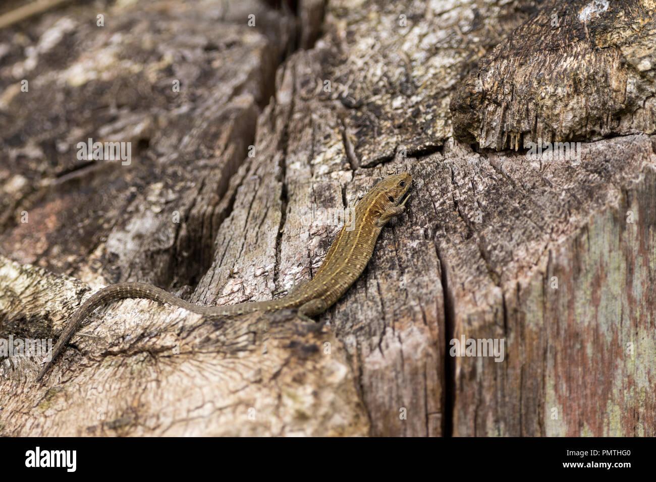 Lizard gemeinsame (Lacerta vivipara) Sonnenbaden auf warmen Baumstumpf. Grau braun färben mit variablen Markierungen und Muster dieses hat einen sehr langen Schwanz Stockbild