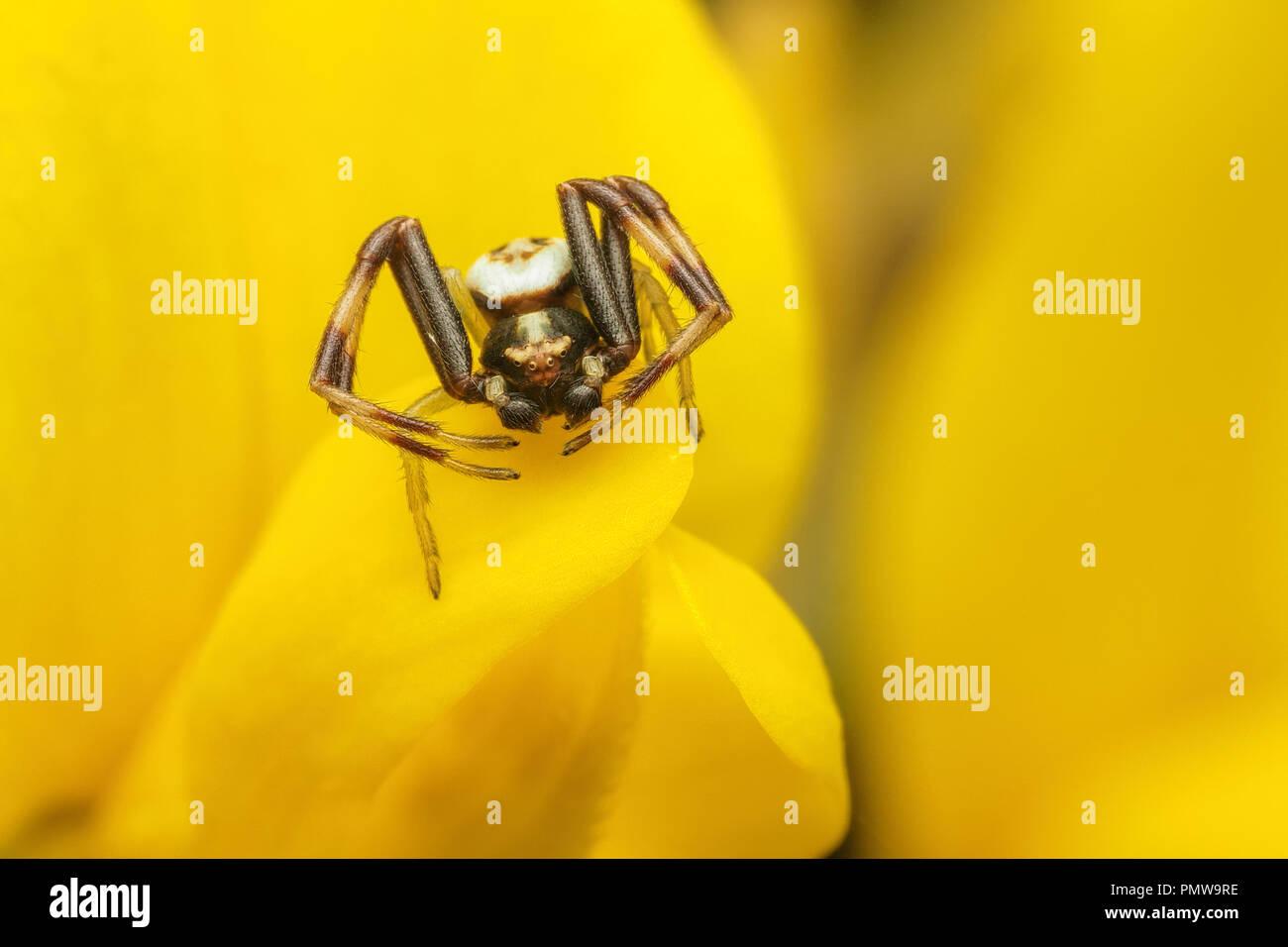 Männliche Misumena vatia crab Spider ruht auf ginster blühen. Tipperary, Irland Stockfoto