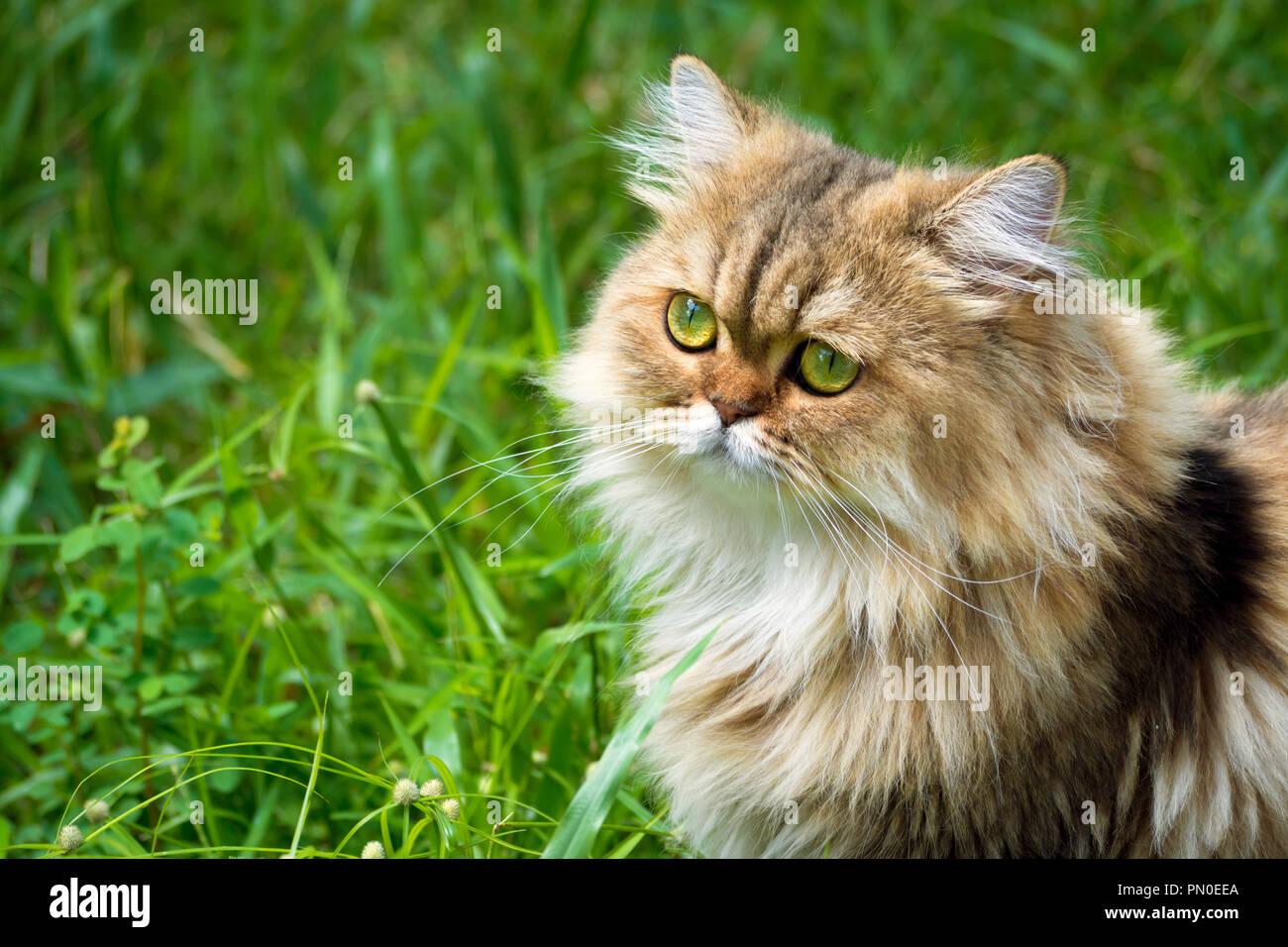 Golden Chinchilla Perser Katzchen Katze Sitzt Auf Dem Grunen Rasen Und Konzentrieren Sie Sich Auf Der Suche Nach Etwas Im Garten Am Morgen Tier Und Pet Stockfotografie Alamy