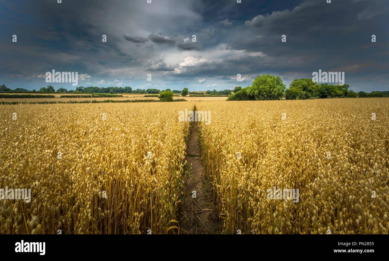 Fußweg durch ein Feld von Hafer unter einer bedrohlichen Himmel. Stockbild