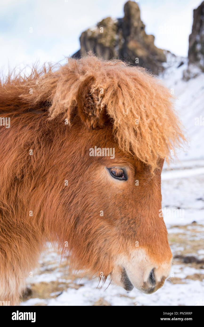 - Nahaufnahme, Porträt Porträt Seitenansicht von niedlichen shaggy - behaarte typisch isländischen Pony im Süden Islands Stockbild