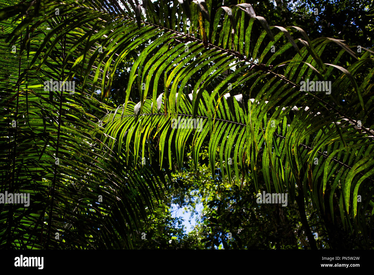 Farnblatt im Regenwald bei Puerto Maldonado, Rio Madre de Dios, Peru Stockbild