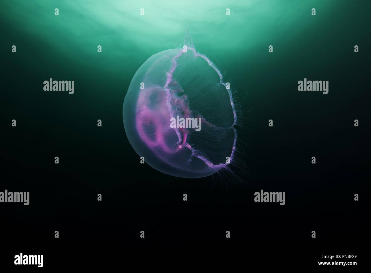 Ohrenquallen, gemeinsame Qualle, Moon jelly oder Untertasse Jelly (Aurelia aurita) Stockbild