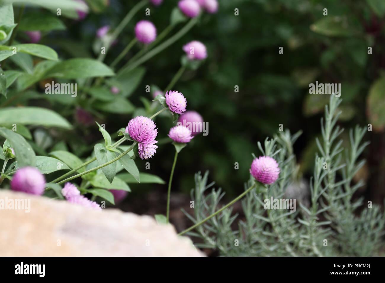 Globus Amaranth oder Gomphrena nana Blumen wachsen in einem Garten. Extrem flache Tiefenschärfe mit selektiven Fokus auf Blume in der Mitte vom Bild. Stockfoto