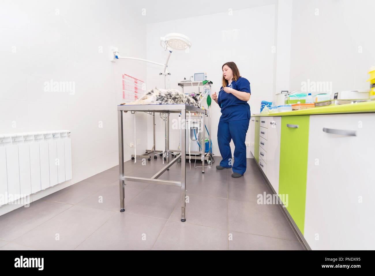 Tierarzt in der Chirurgie Zimmer Stockbild
