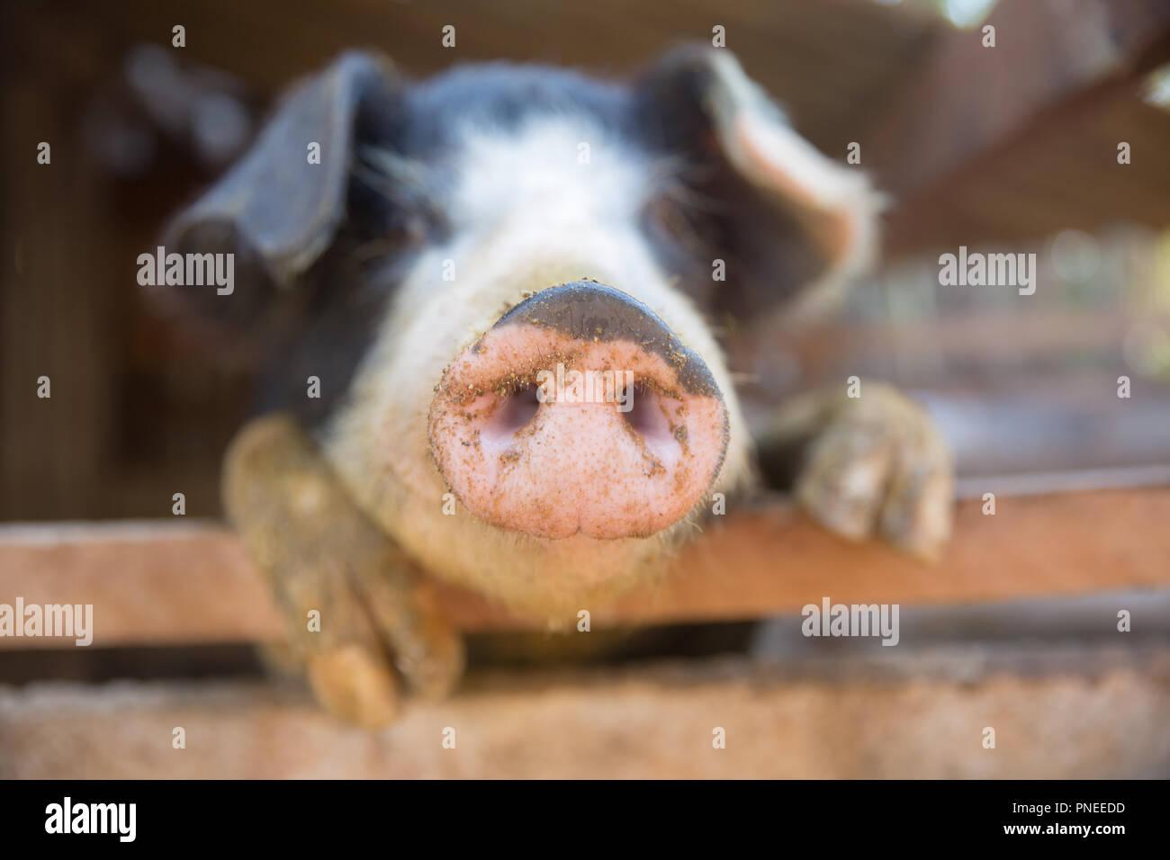 Schwein Nase im Pen. Schwerpunkt liegt auf der Nase. Geringe Tiefenschärfe. Stockbild