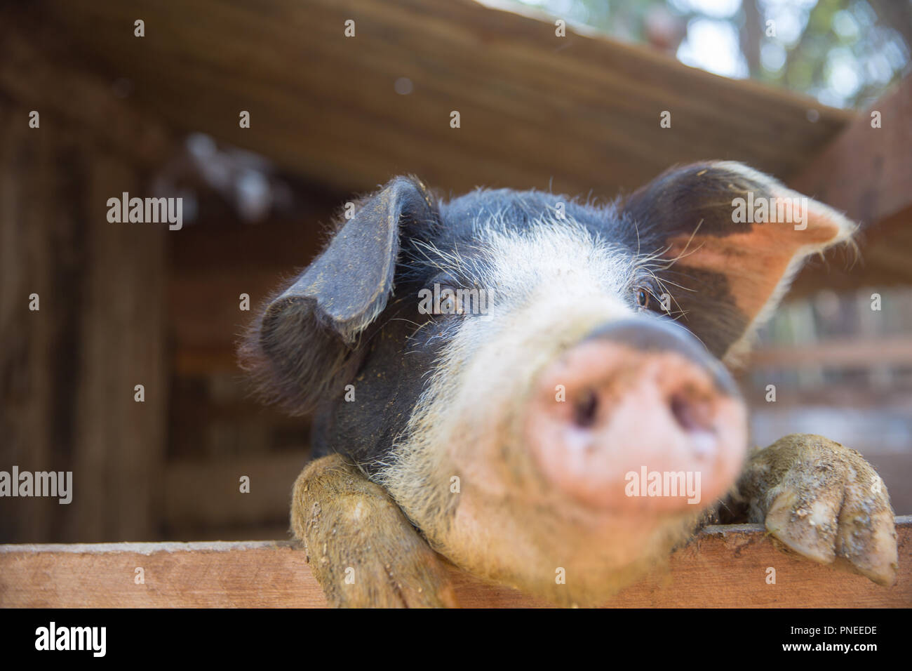 Schwein im Pen. Schwerpunkt liegt auf Auge. Geringe Tiefenschärfe. Stockbild