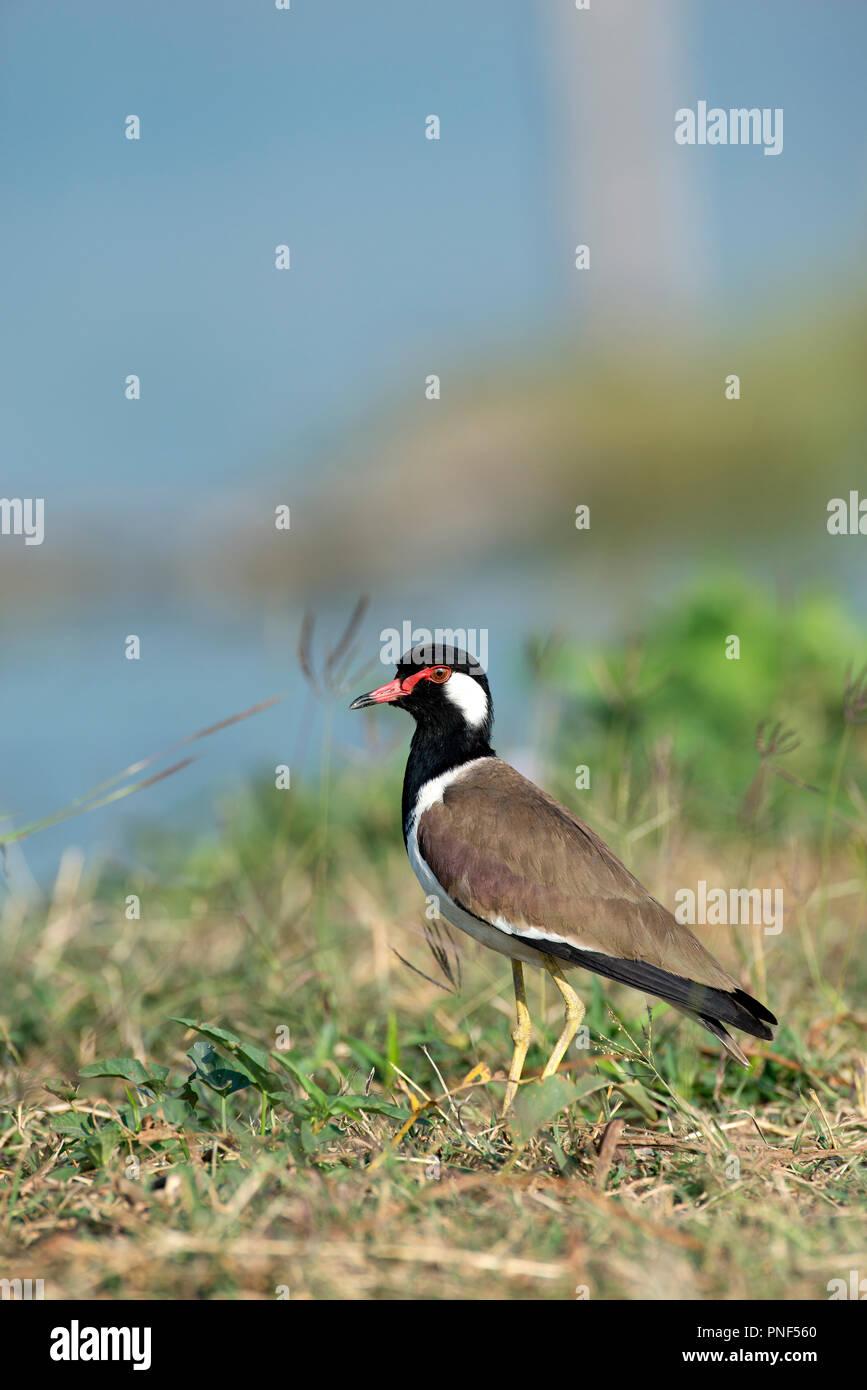Rot - Gelbstirn-blatthühnchen Kiebitz (Vanellus indicus), Thailand Vanneau Indien Stockbild