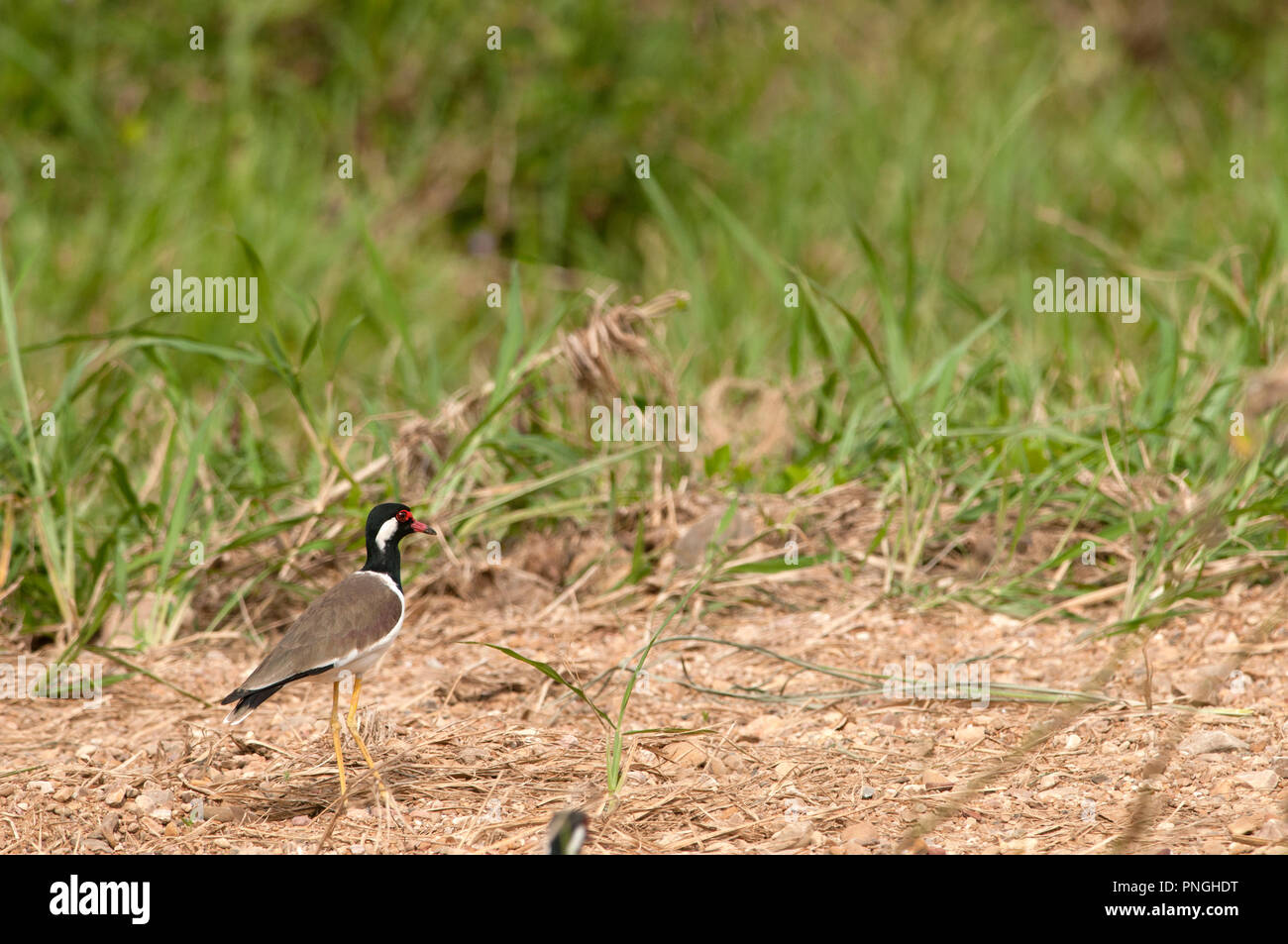 Red-Wattled Kiebitz (Vanellus indicus atronuchalis), Thailand Vanneau Indien - Stockbild