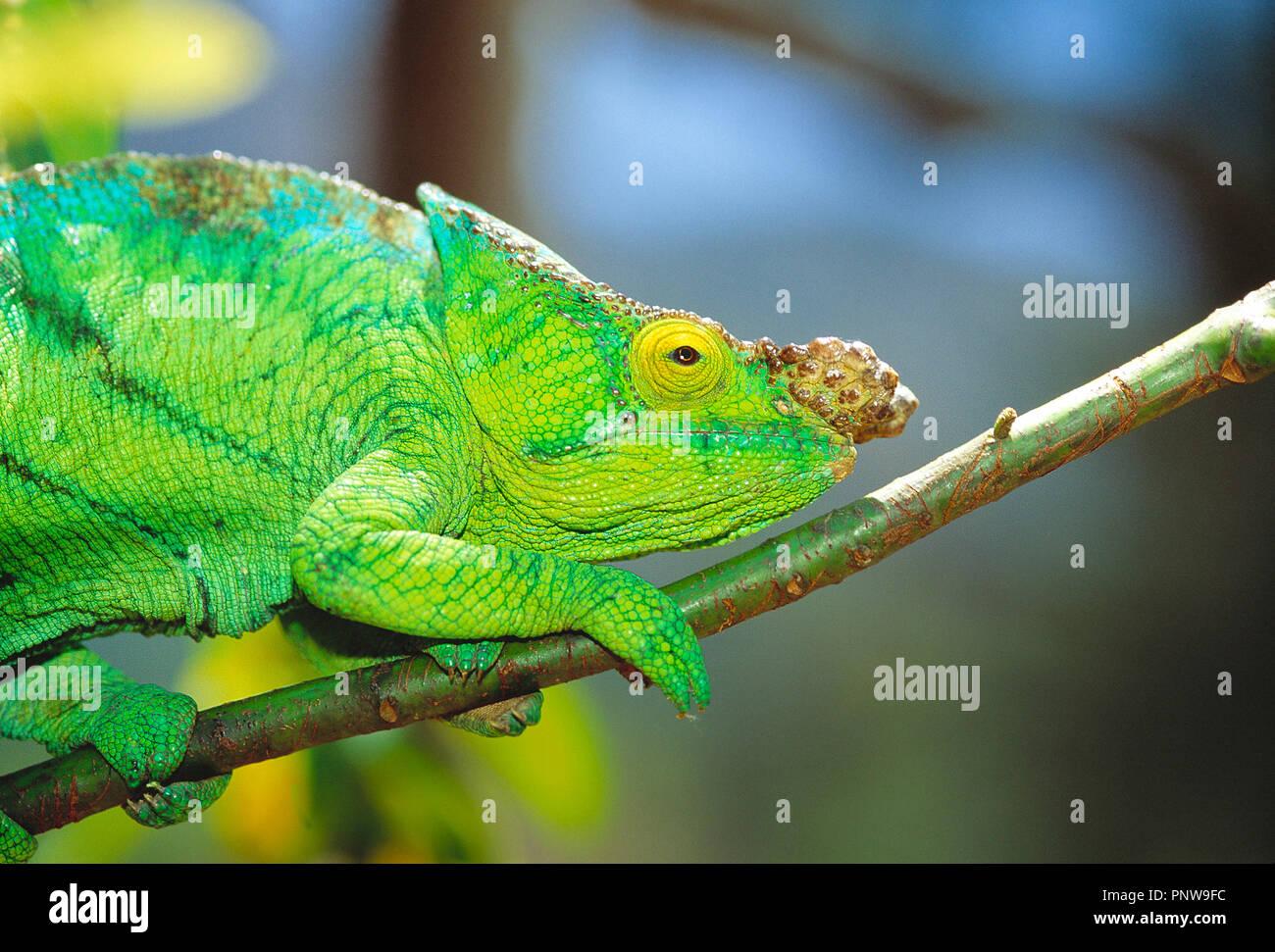 Madagaskar. Nahaufnahme der grünes Chamäleon auf Ast des Baumes. Stockbild