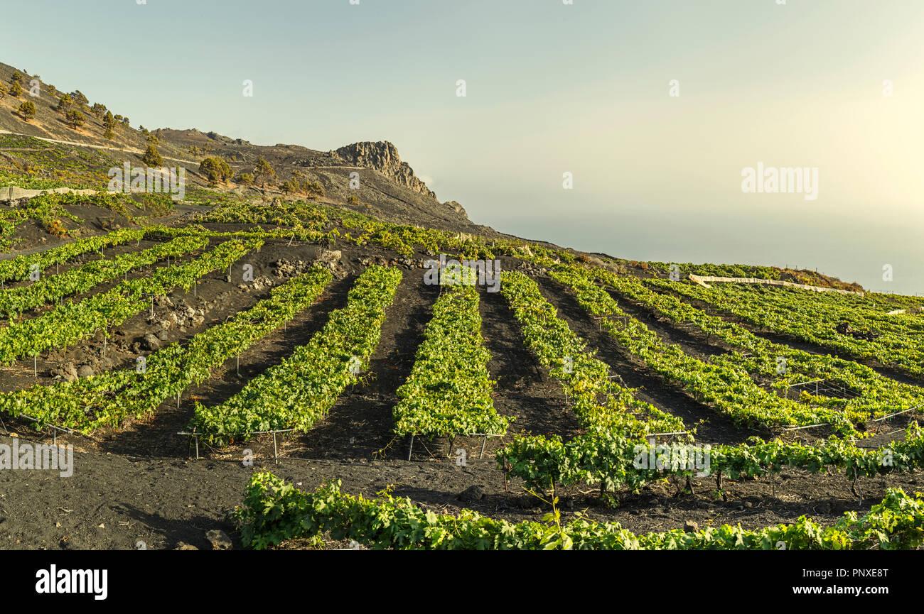 Weinberge über Lavafelder in Fuencaliente, La Palma, Kanarische InselnStockfoto