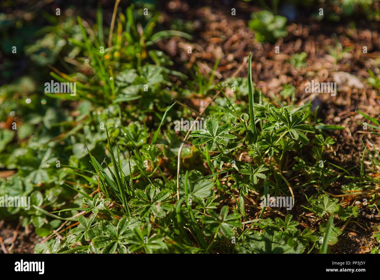 Silberkraut (Alchemilla alpina) Stockbild