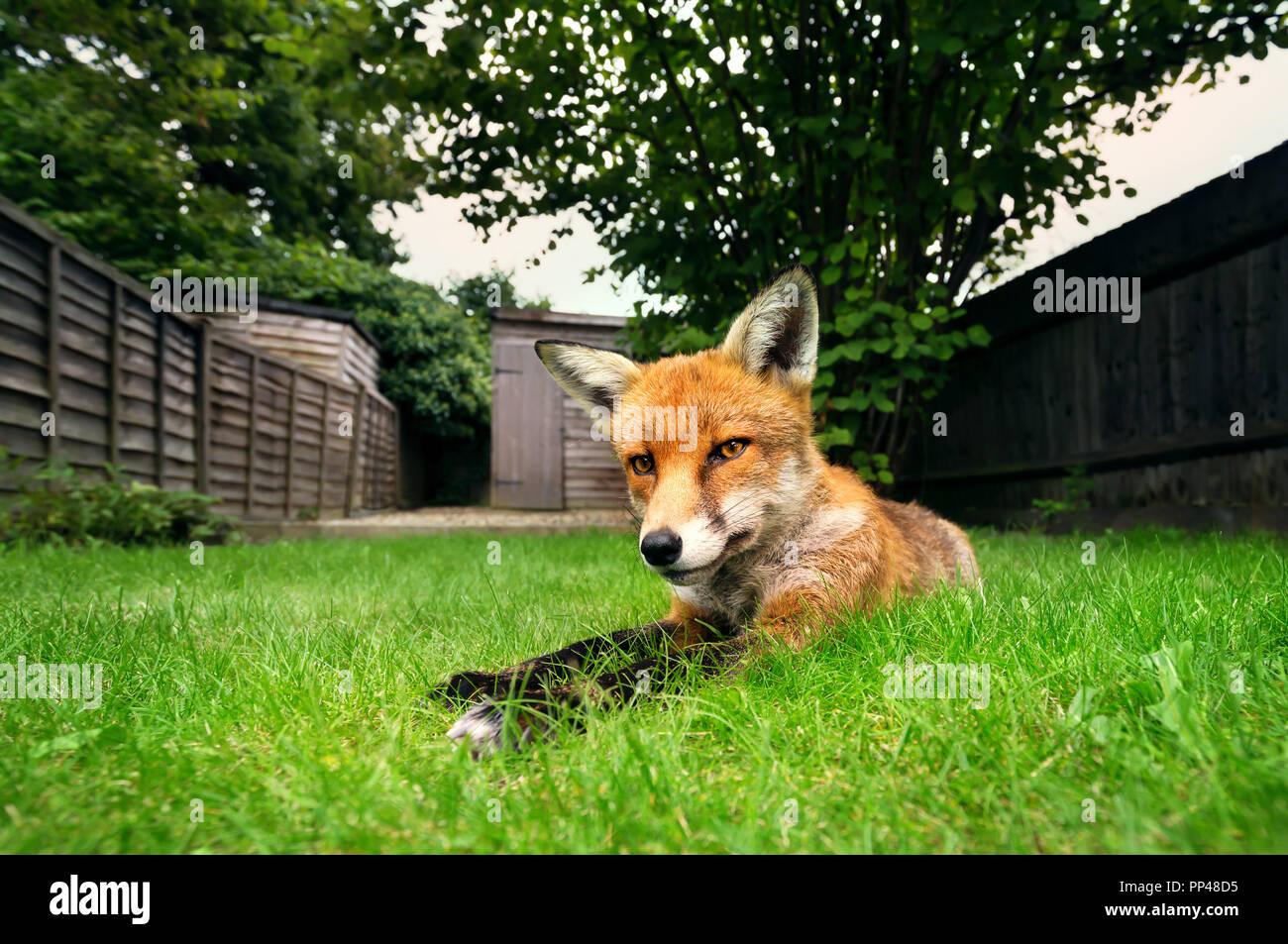 Nahaufnahme eines Red Fox, die auf dem Gras im Sommer. Stockbild