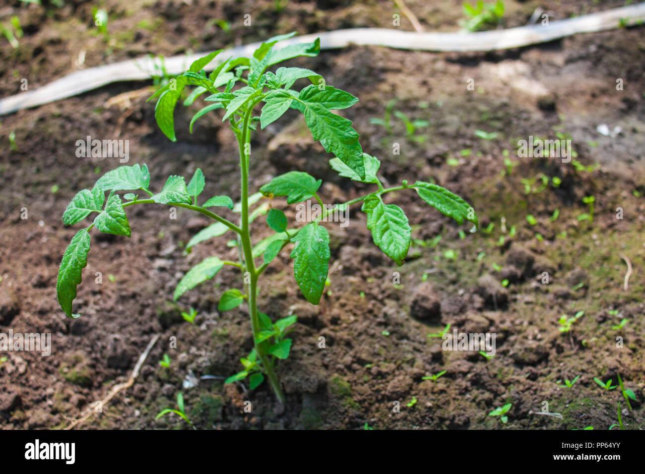 tomaten pflanzen erde