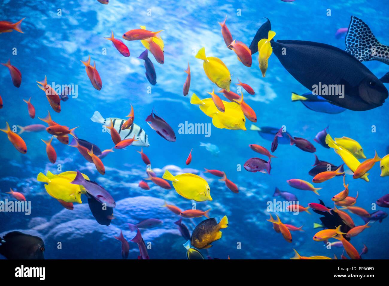 Tropische Riff mit einem Regenbogen Sortiment von bunten Fischen am Georgia Aquarium in der Innenstadt von Atlanta, Georgia. (USA) Stockbild