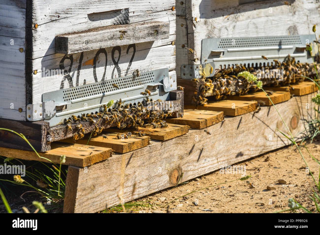 Schwarm der Honigbienen vor einem Bienenstock, Provence, Frankreich Stockbild