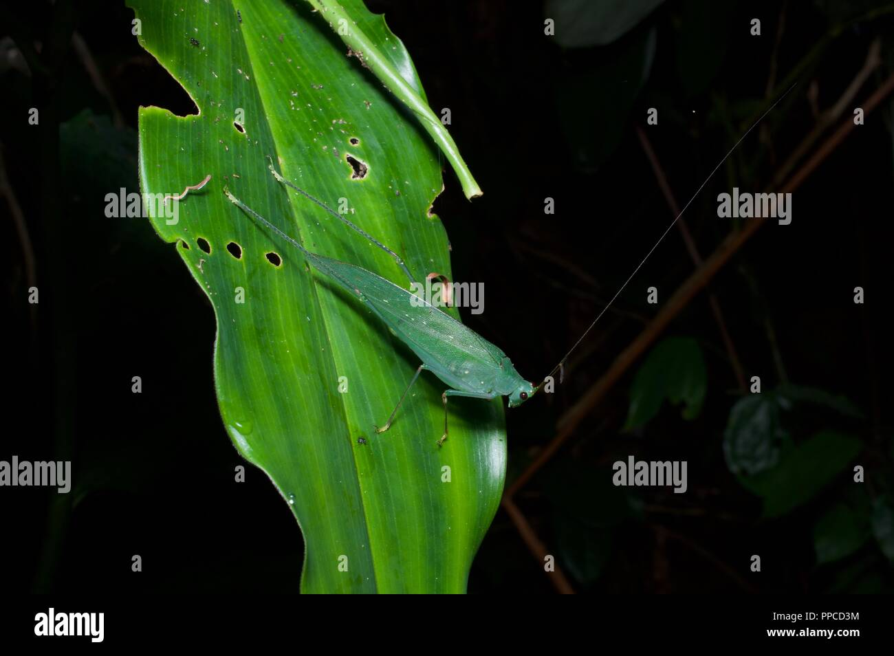 Ein Blatt nachahmen katydid (Familie Tettigoniidae) im Regenwald Laub in der Nacht in Bobiri Forest Reserve, Ghana, Westafrika Stockbild