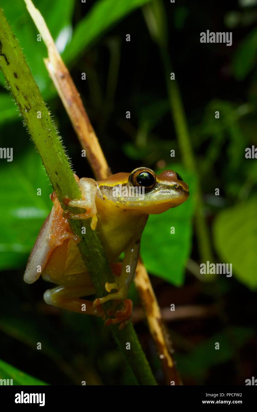Eine Variable Montane Reed Frog (Hyperolius picturatus) in der Vegetation in der Nacht in Atewa Range Forest Reserve, Ghana, Westafrika Stockbild
