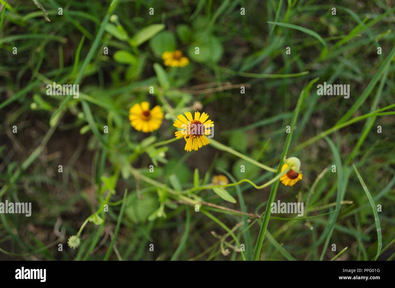Kleine gelbe Feld Wunder der Hintergrund. Schließen Sie die Schönheit der Blume zu würdigen. Stockbild