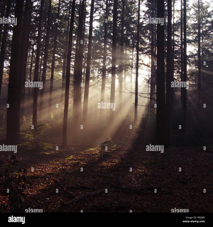 Geringe Sonnenlicht durch die Bäume in einem Pinienwald Stockfoto