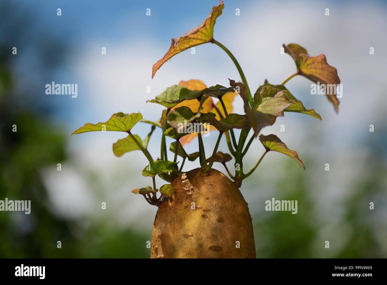Nahaufnahme der eine sprießende Süßkartoffel mit slip Sprossen wachsen, die es für die Vermehrung im Gartenbau, Kanada Stockbild