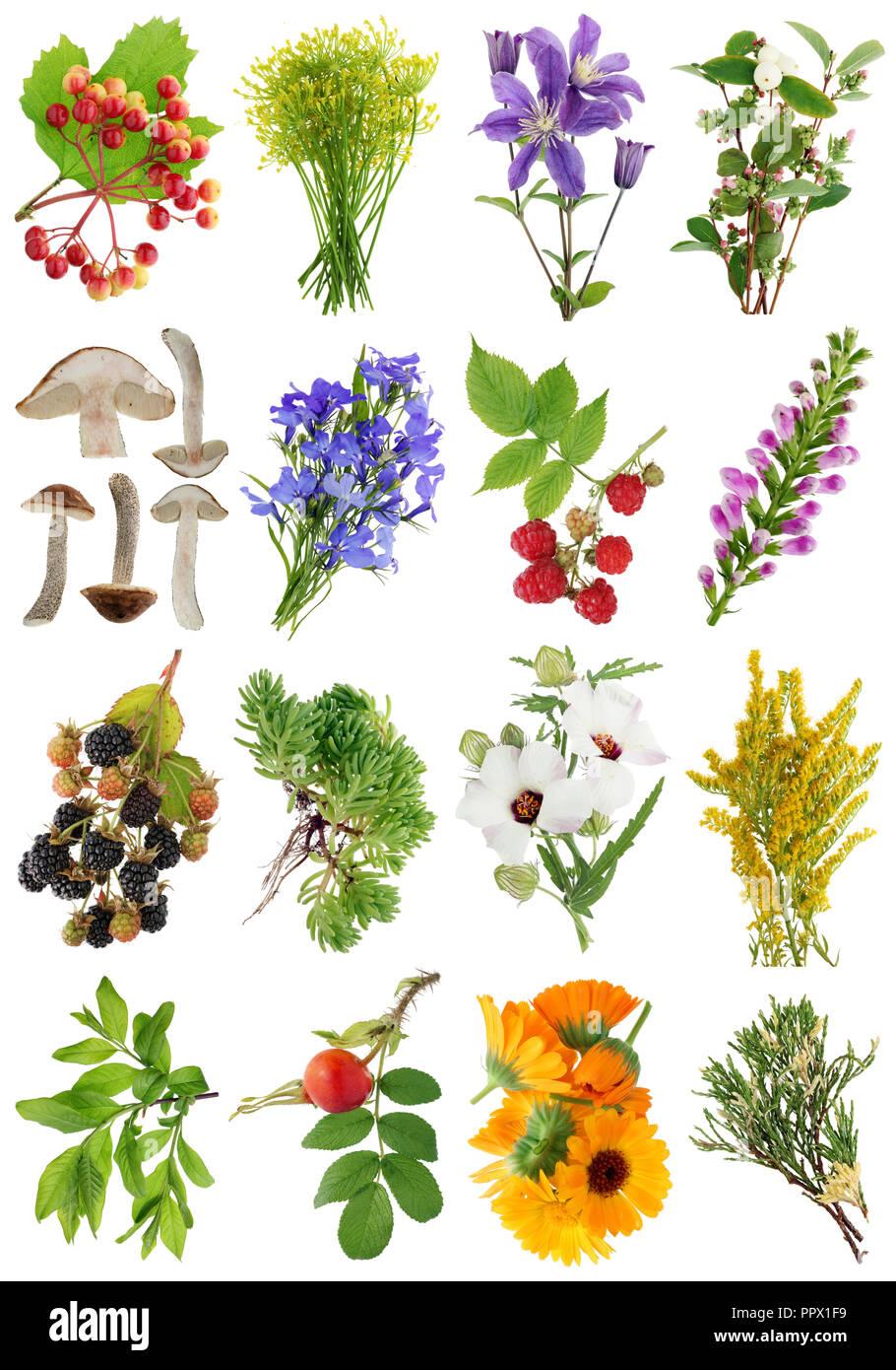 Beliebt Bevorzugt August Sommer europäische Pflanzen und Blumen 1 1. Auf weissem #UL_63