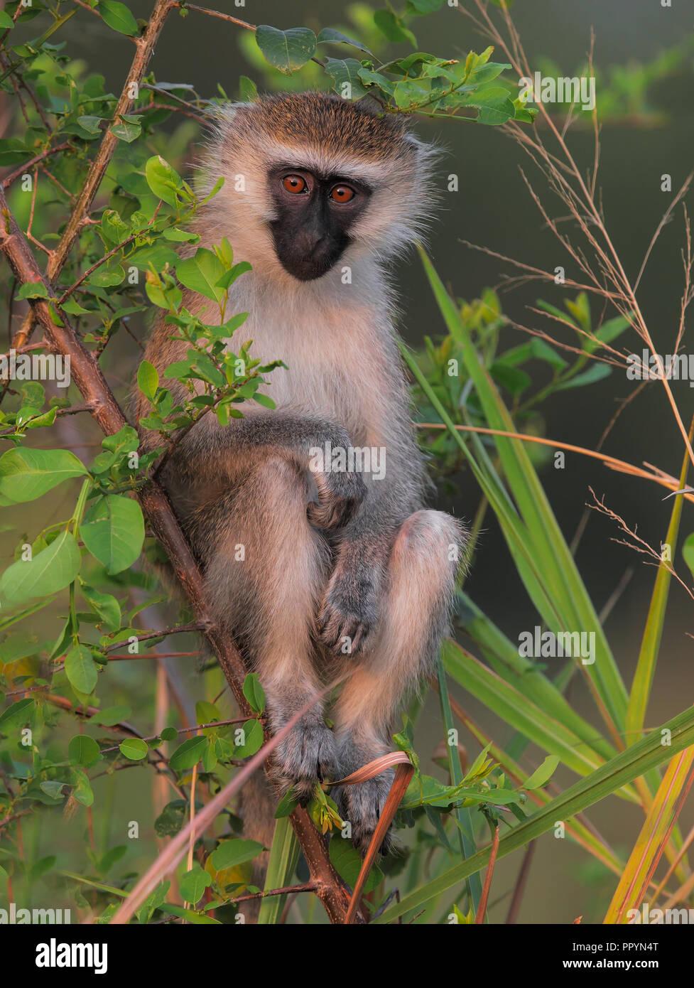 Grivet Monkey Stockbild