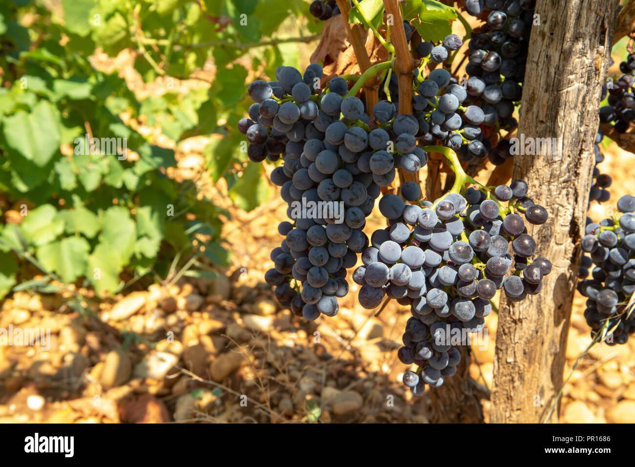 Außergewöhnlich Hohe Qualität französischer Wein Herstellung, Wein reifen Trauben #IM_32