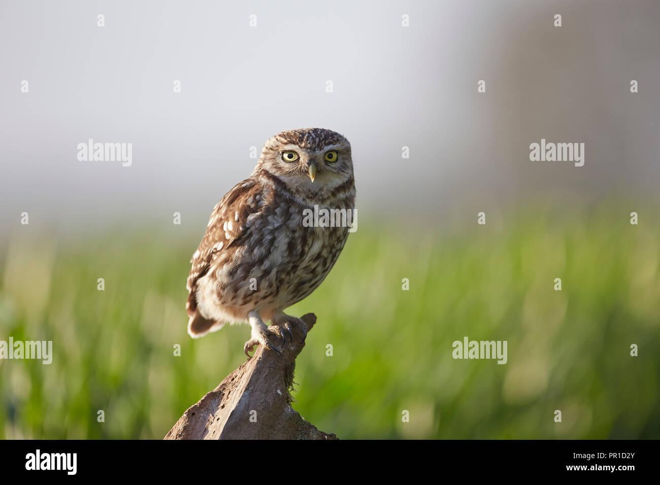 Steinkauz, Athene noctua am Les Gibbon kleine Eule Fotografie fotografiert verbergen, East Yorkshire. Stockbild