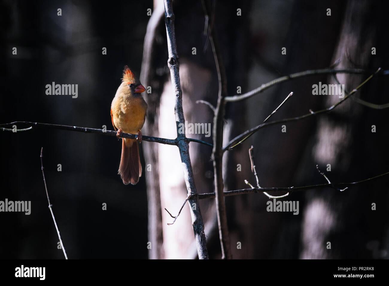 Eine weibliche Kardinal stellt auf einer kleinen Gliedmaßen außerhalb des Visitor Center in Muscatatuck National Wildlife Refuge. Es gibt eine Birke im Hintergrund. Stockbild