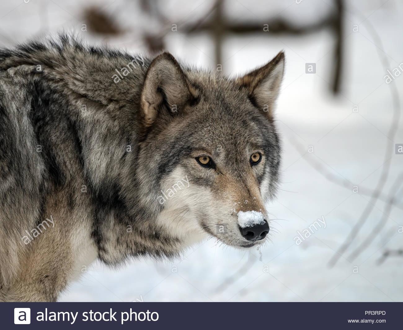Timber Wolf (auch bekannt als grauer Wolf oder grauen Wolf) im Schnee Stockbild