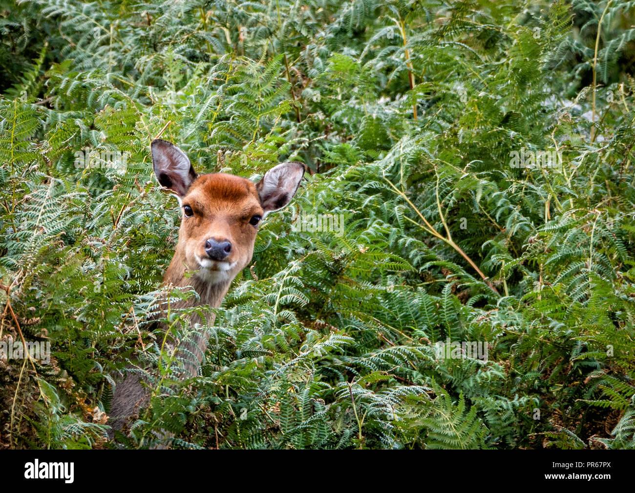 Sika deer Cervus nippon Peering out von adlerfarn bedeckt Klippen auf der Insel Lundy an der Nordküste von Devon, Großbritannien Stockbild