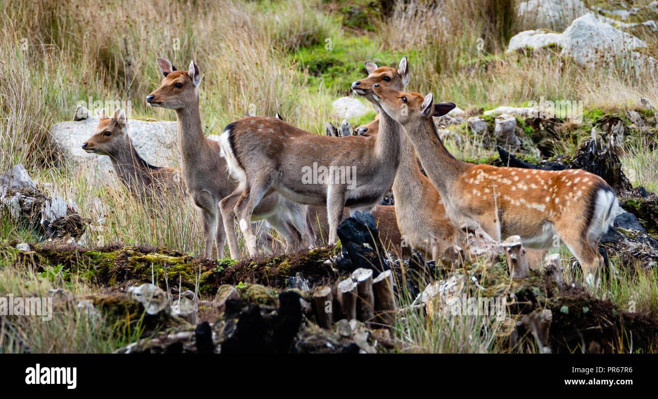 Sika deer Cervus Nippon auf der Insel Lundy an der Nordküste von Devon, Großbritannien Stockbild