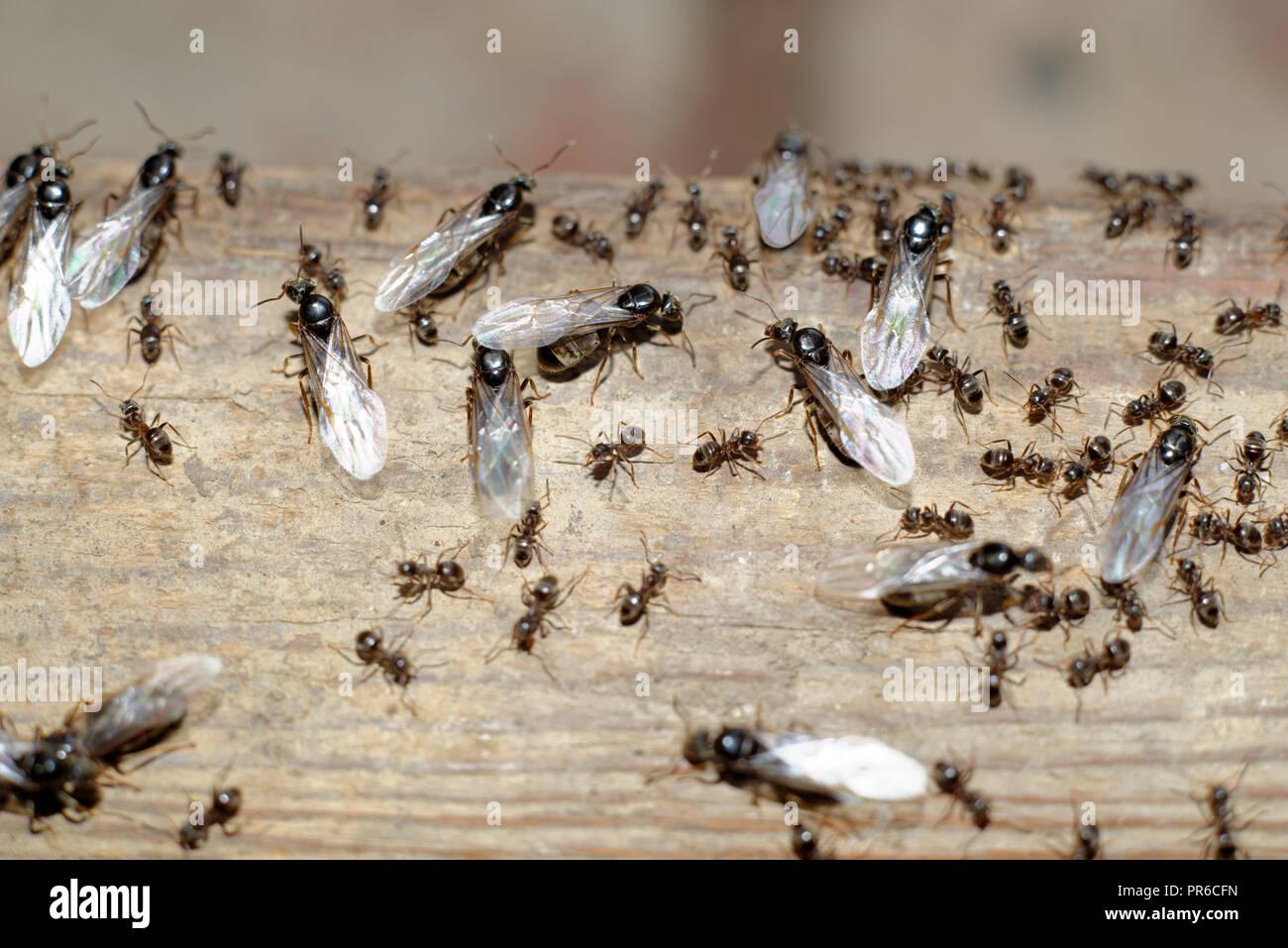 Fabulous Fliegende Ameisen über das Nest verlassen Stockfoto, Bild KK25