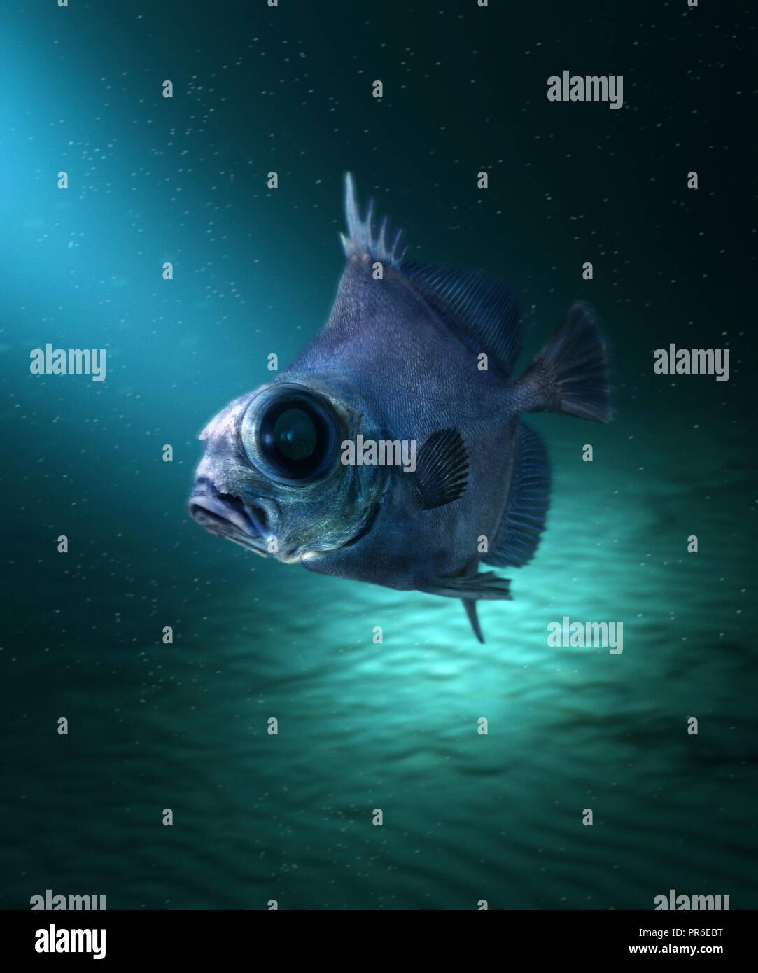Neocyttus helgae, Falsche boarfish, Schwimmen. Fische, die in der Tiefsee leben zwischen 900 und 1800 m Tiefe in der Nähe von Untiefen. Waren mit Basalt verbunden Stockbild
