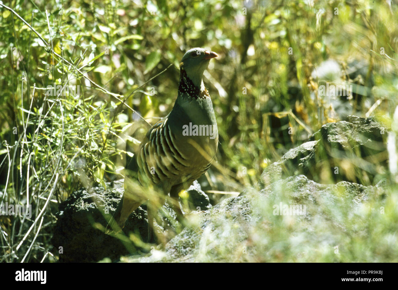 Barbary Partridge, alectoris Barbara, Masca Teneriffa. Kanarischen Inseln. Spanien. Stockbild