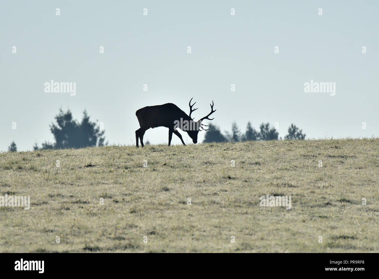 Kontur der Silhouette einer Hirsche mit Geweihen, die auf den Horizont Stockbild