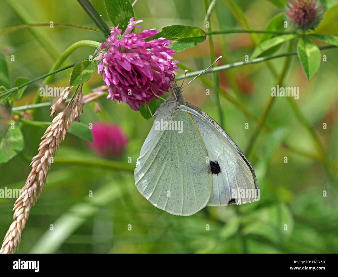 Grosser Weisser Schmetterling Futterung Auf Blume Von Rotklee