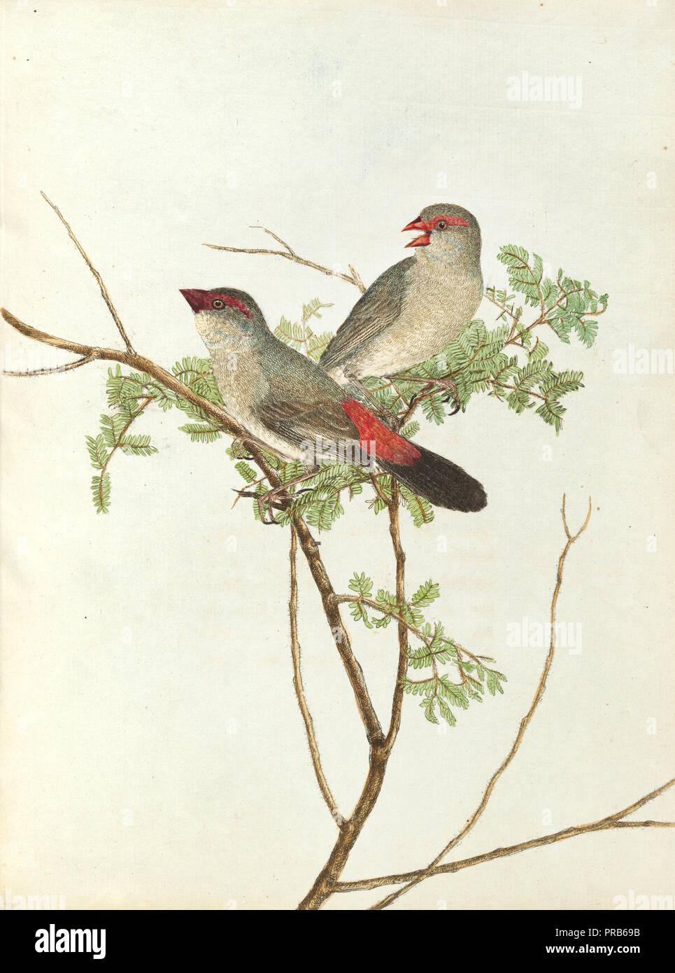 John Lewin, gemeinsame Grossbeak, 1805 Drucken, National Gallery von Australien, Canberra, Australien. Stockbild