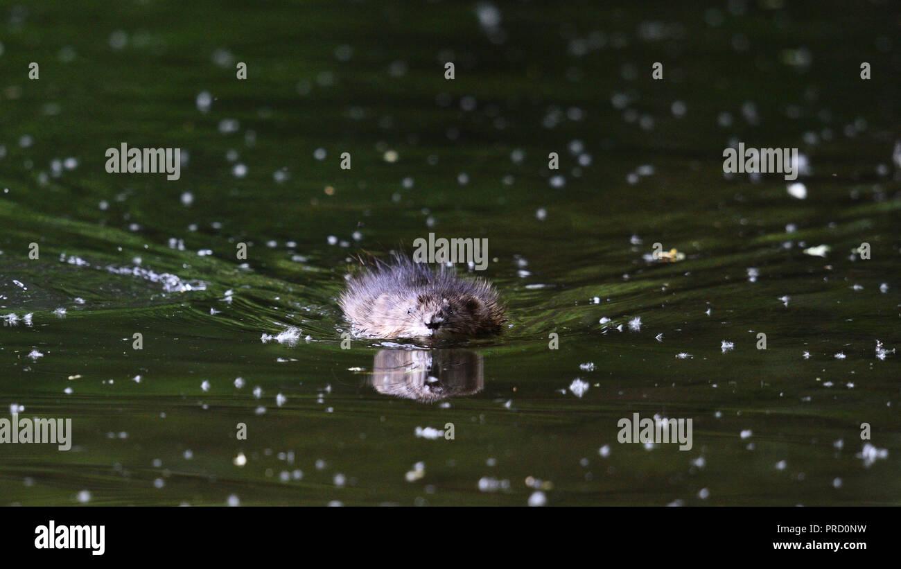 Eine Bisamratte schwimmt frontal in die Kamera (Deutschland). Ein Bisam schwimmt frontal in die Kamera zu (Deutschland). Stockfoto