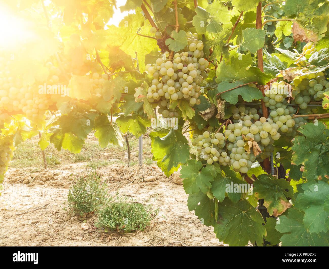 Weinpflanze und reifer Wein Trauben im Weinberg Stockbild